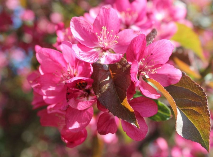 A Chorus of Blossoms:  Enjoying Spring with the Amherst Garden Club