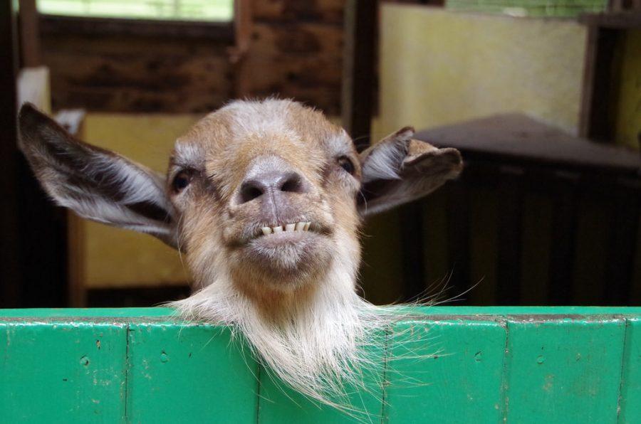 Goat pic courtesy of www.thecasefarm.co.uk